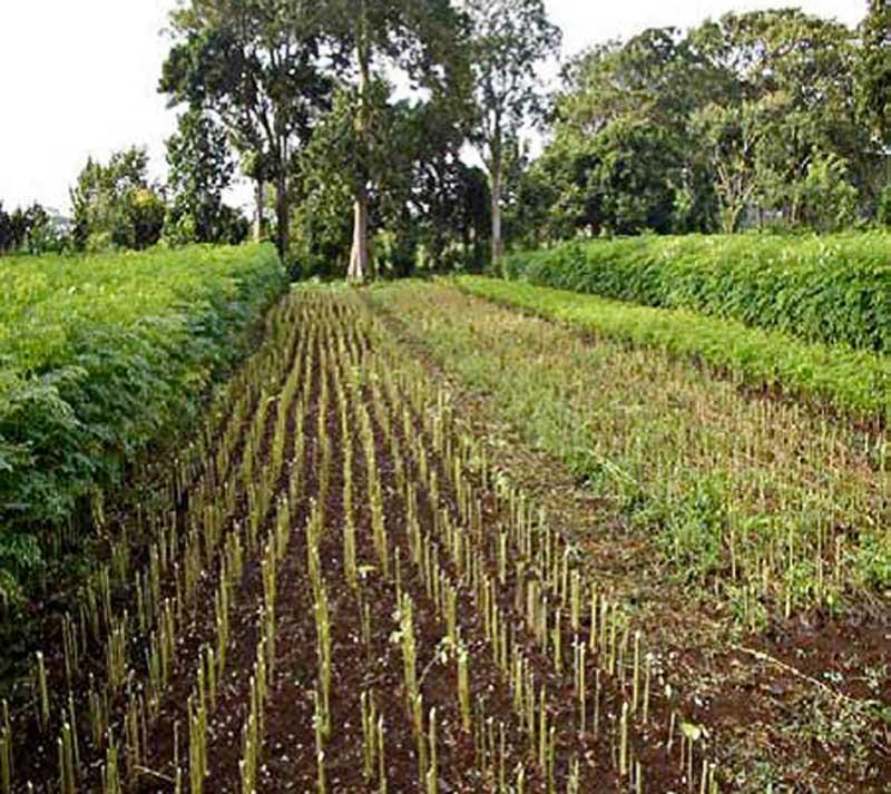 Moringa-crops-Wildmoz.com