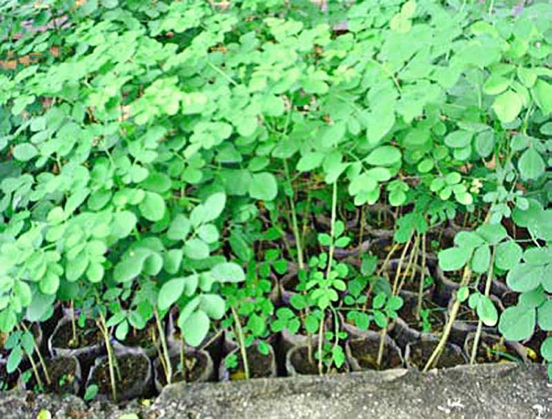 Moringa-seedlings-Wildmoz.com