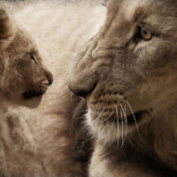 17 Unknown Facts About Lions