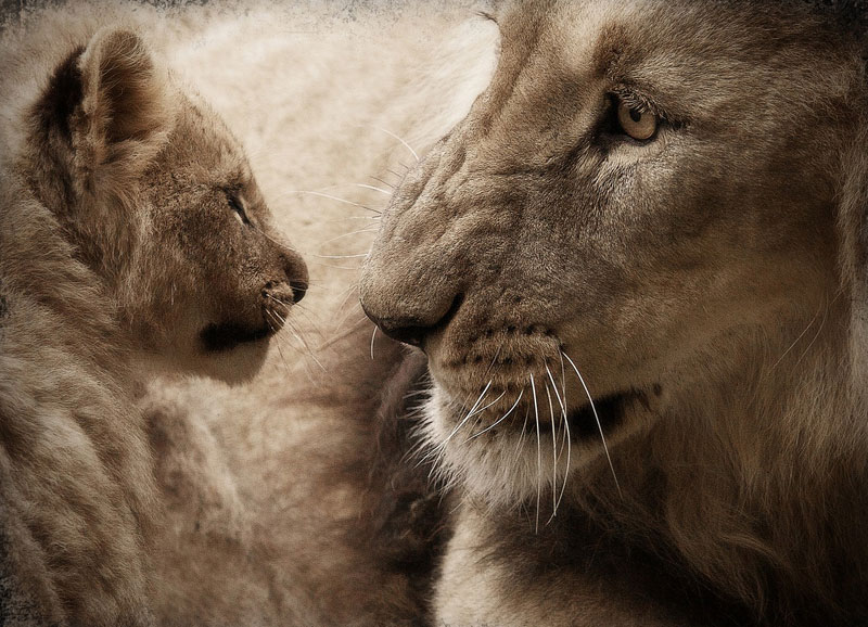 Black-maned-lion-and-cub-Wildmoz.com