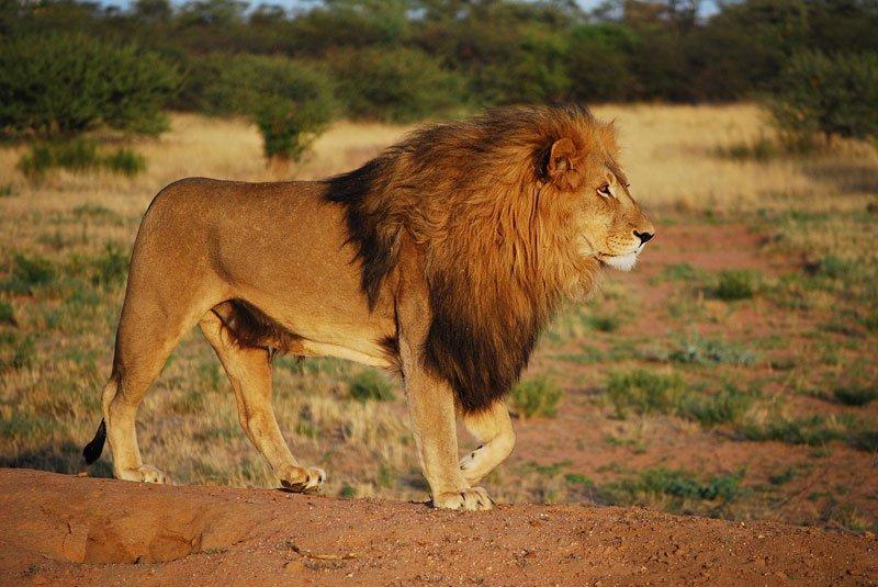 Black-maned-lion-Wildmoz.com