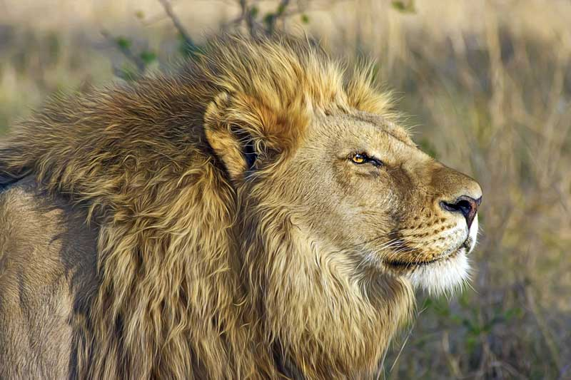 Handsome-male-lion-Wildmoz.com