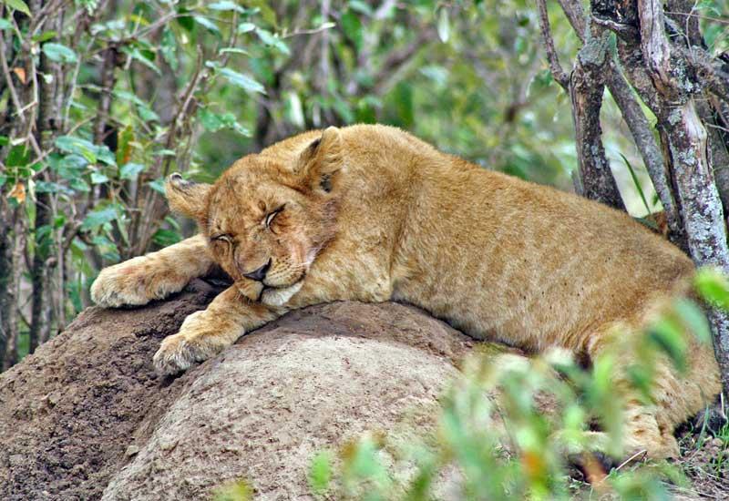 Lion-cub-sleeping-Wildmoz.com