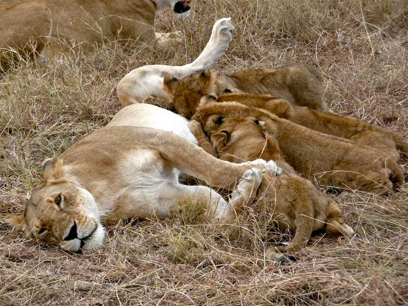 17 Unknown Facts About Lions | Wildmoz | Magazine