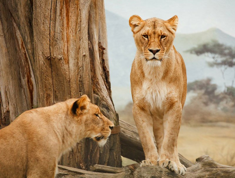 Lions-and-claw-marked-tree-Wildmoz.com