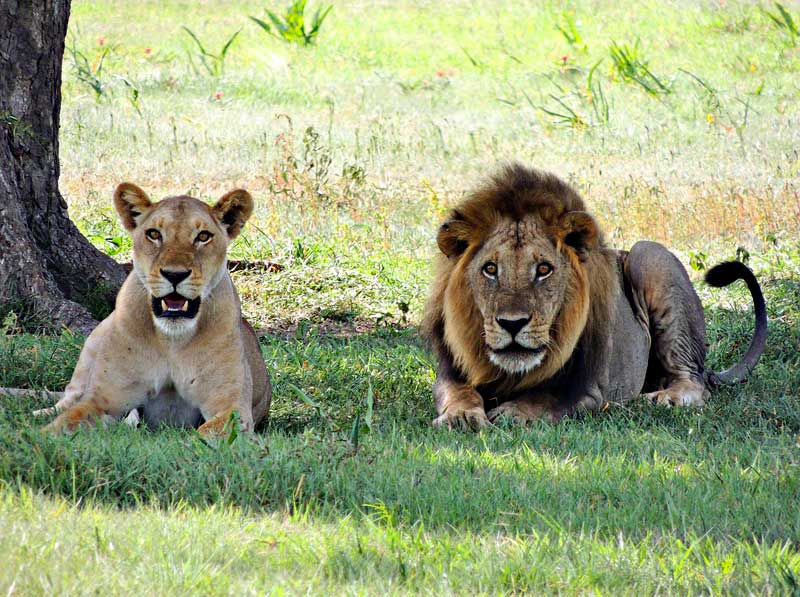 Mom-and-Pop-Lions-Wildmoz.com