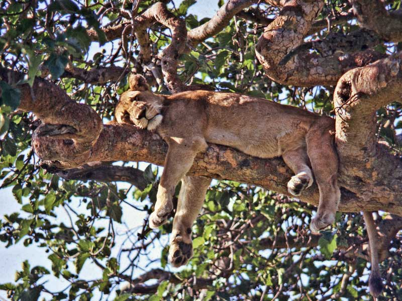 Sabi-river-has-tree-lions-Wildmoz.com