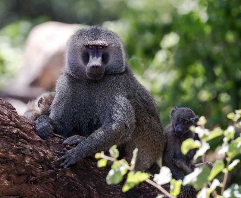 African-baboon-&-babies-Wildmoz.com