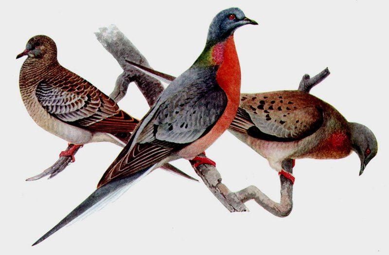 Extinct-Passenger-Pigeon-Wildmoz.com