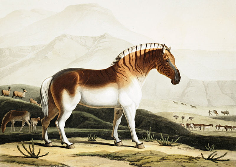 Extinct-Quagga-by-Samuel-Daniell-1804-Wildmoz.com