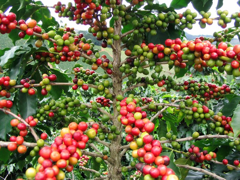Arabica-coffee-Fruit-Wildmoz.com