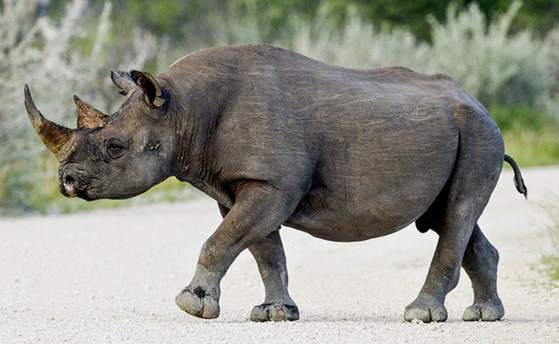 Black-rhino-Wildmoz.com