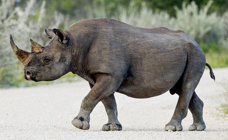 Black-rhino-Wildmoz.com