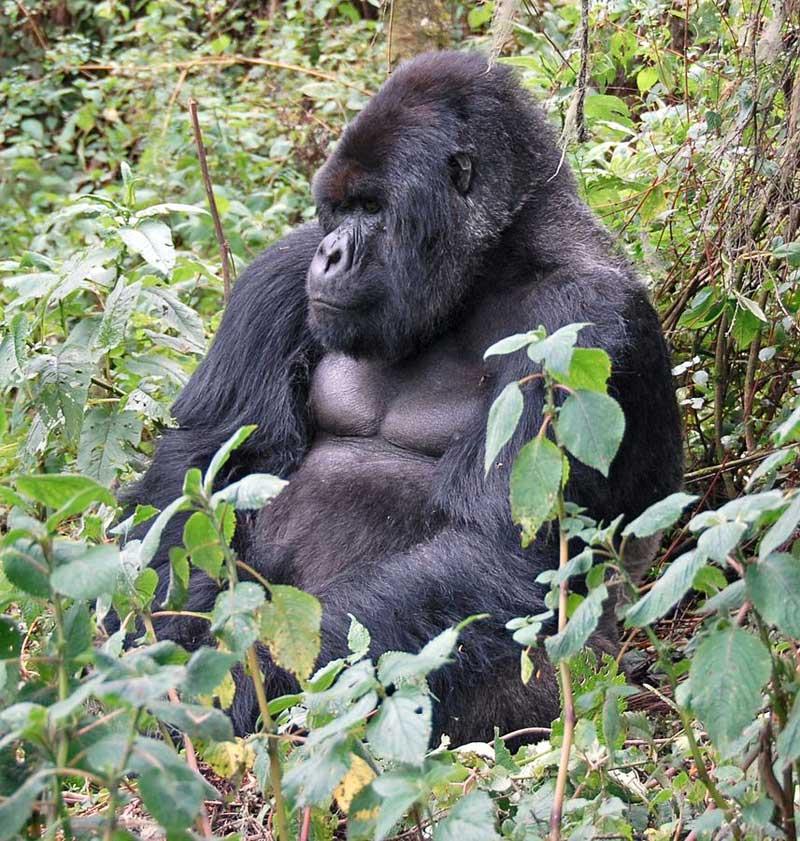 Mountain-gorilla-Wildmoz.com