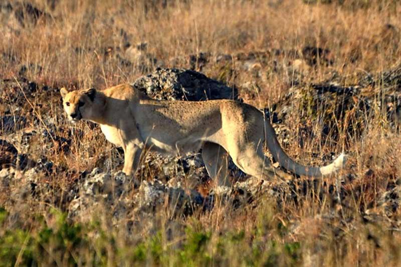 Northwest-African-cheetah-Wildmoz.com