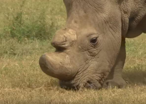 Sudan-the-rhino-Wildmoz.com