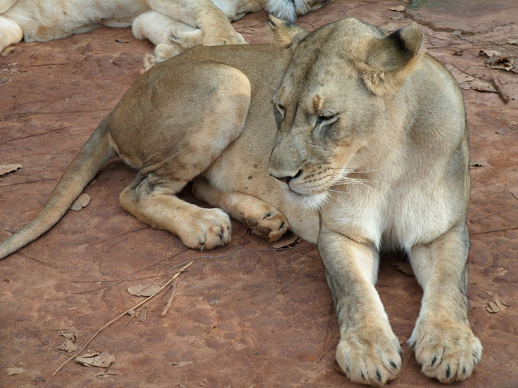 West-African-Lion-Wildmoz.com