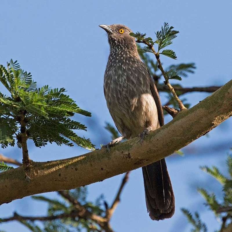 Arrow-marked-babbler-Wildmoz.com