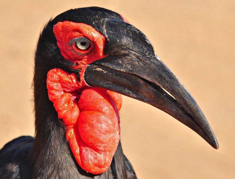 Southern-ground-hornbill-male-Wildmoz.com