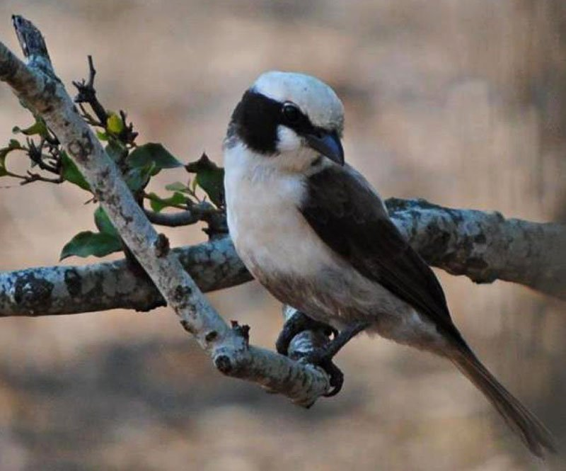 White-crowned-helmet-shrike-Wildmoz.com