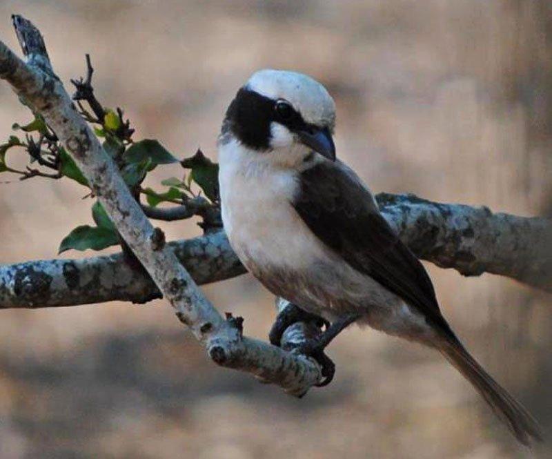 White-crowned-helmet-shrike-Wildmoz.com
