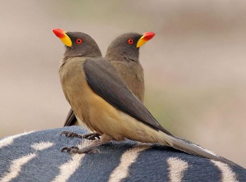 Yellow-billed-oxpeckers-Wildmoz.com
