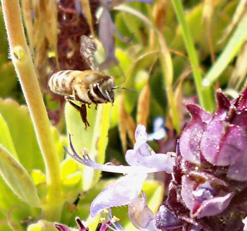 African-wild-Bee-at-flower-Wildmoz.com