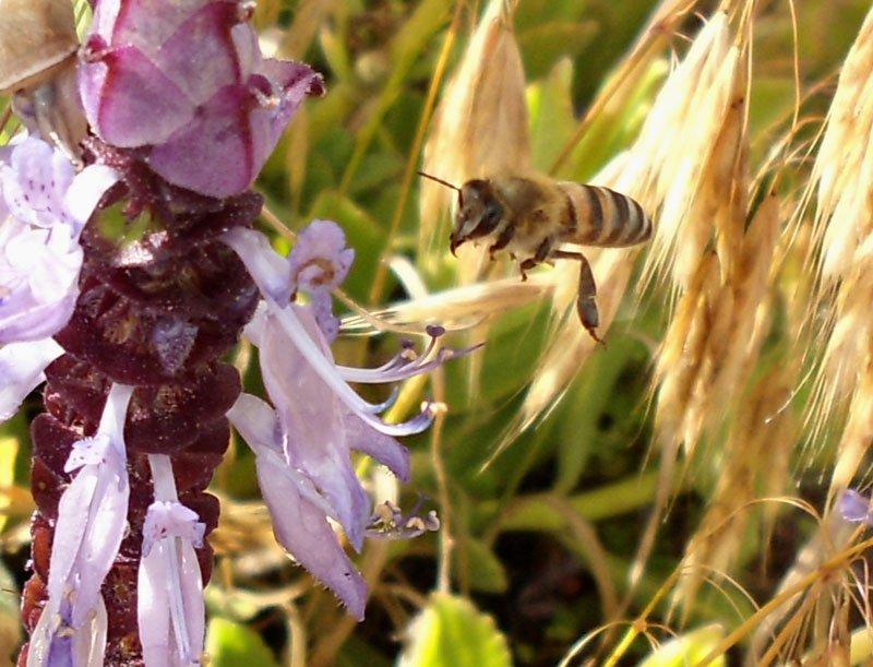 African-wild-Bee-indigenous-flower-Wildmoz.com