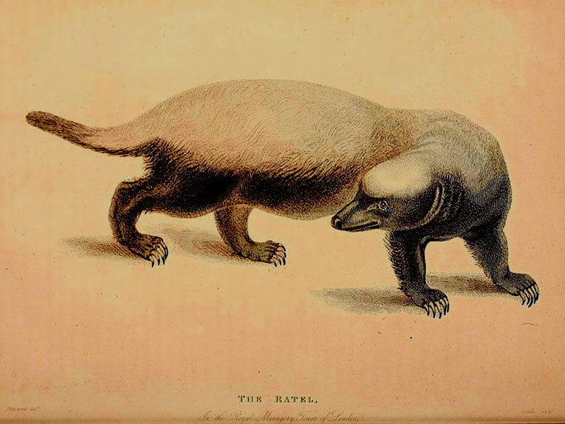 Honey-badger-book-plate-Wildmoz.com