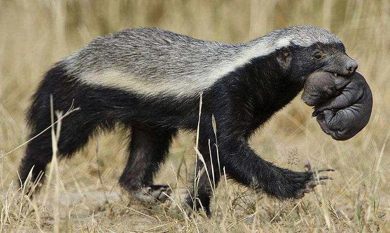 Honey-badger-mother-and-baby-Wildmoz.com