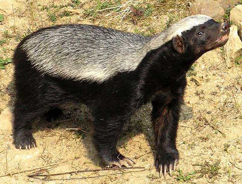 Honey-badger-sniffing-the-air-Wildmoz.com