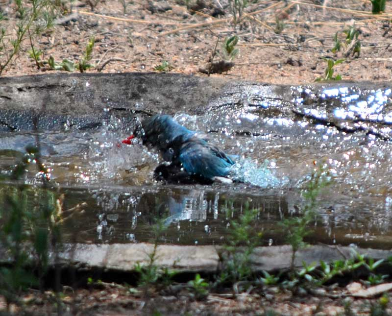 Woodland-kingfisher-Halcyon-senegalensis-bathing-14-Wildmoz.com