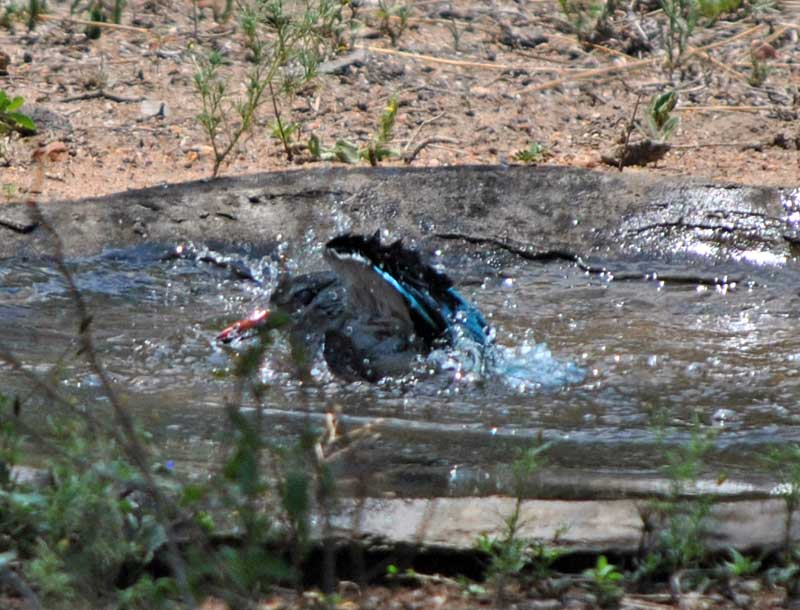 Woodland-kingfisher-Halcyon-senegalensis-bathing-15-Wildmoz.com
