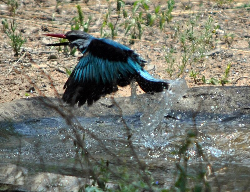 Woodland-kingfisher-Halcyon-senegalensis-bathing-16-Wildmoz.com
