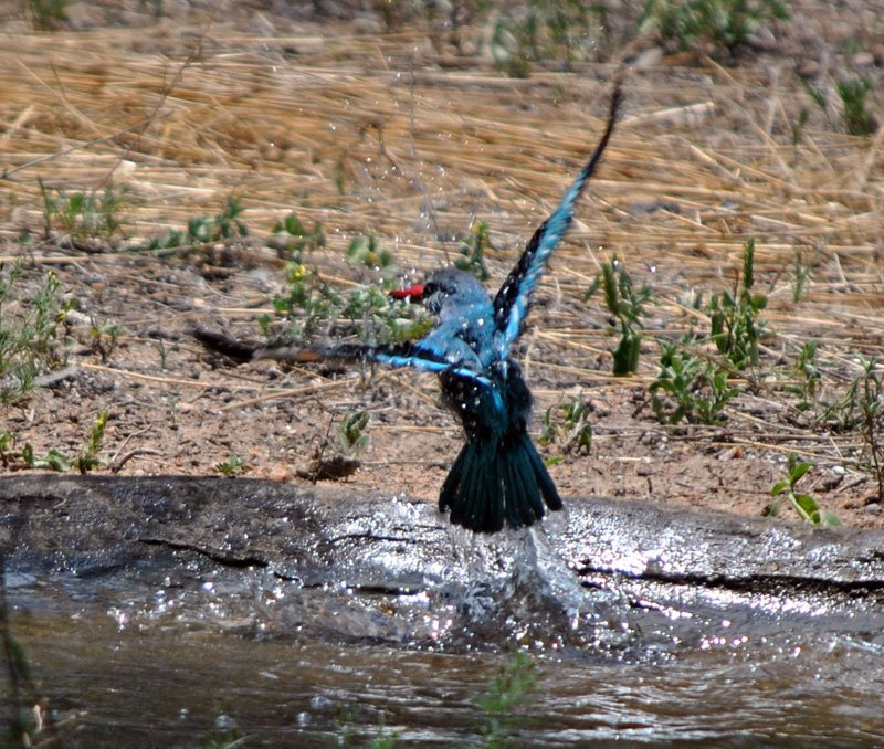 Woodland-kingfisher-Halcyon-senegalensis-bathing-17-Wildmoz.com