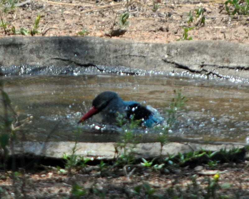 Woodland-kingfisher-Halcyon-senegalensis-bathing-3-Wildmoz.com