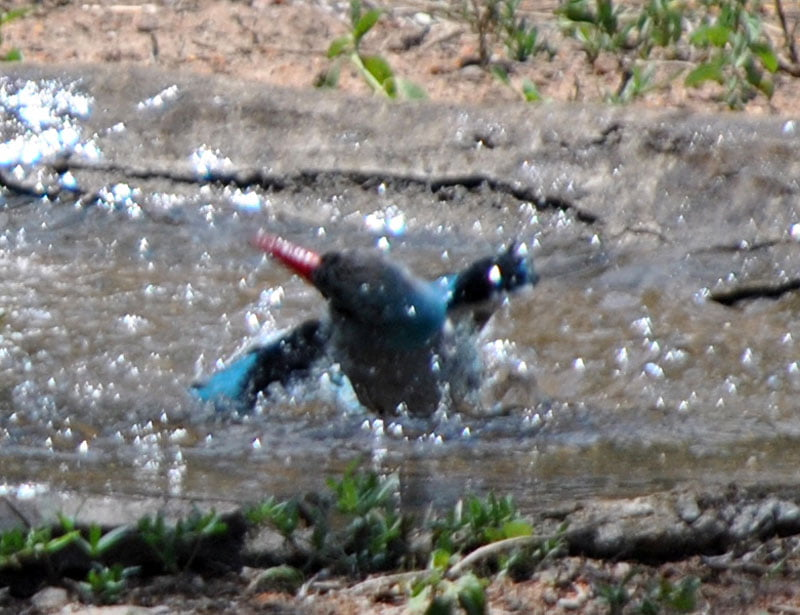 Woodland-kingfisher-Halcyon-senegalensis-bathing-7-Wildmoz.com