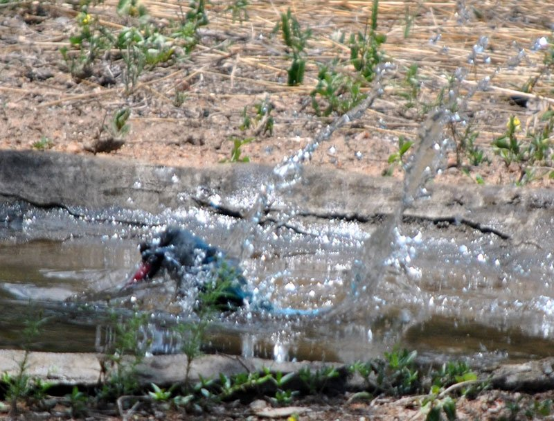 Woodland-kingfisher-Halcyon-senegalensis-bathing-9-Wildmoz.com
