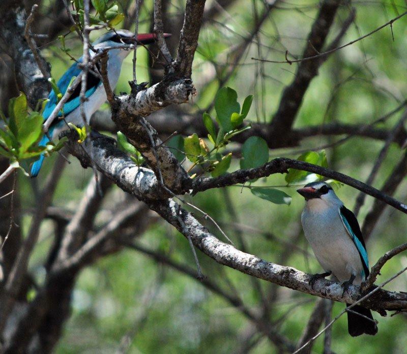 Woodland-kingfisher-Halcyon-senegalensis-pair-Wildmoz.com