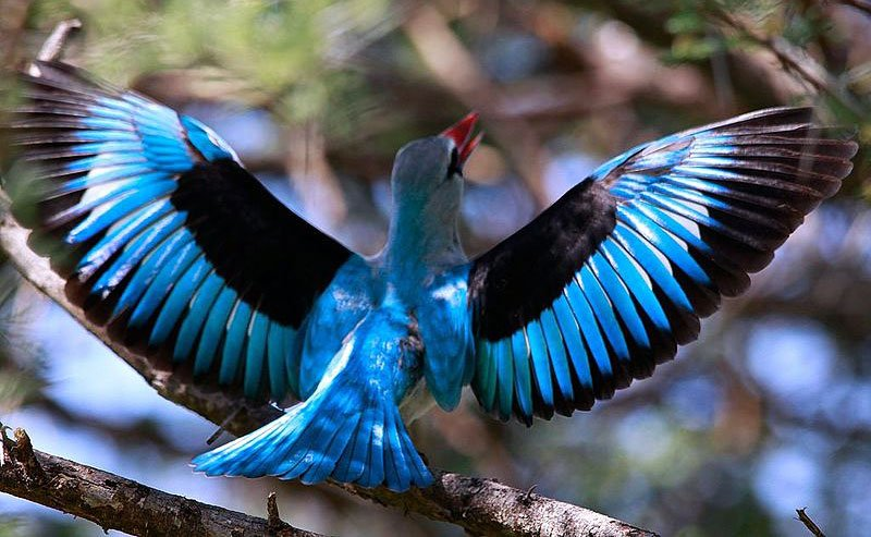 Woodland-kingfisher-wings-spread-Halcyon senegalensis-Wildmoz.com
