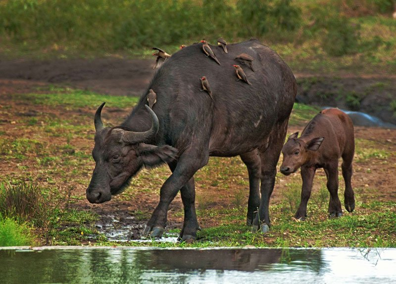 Big-five-Cape-buffalo-and-calf-Wildmoz.com