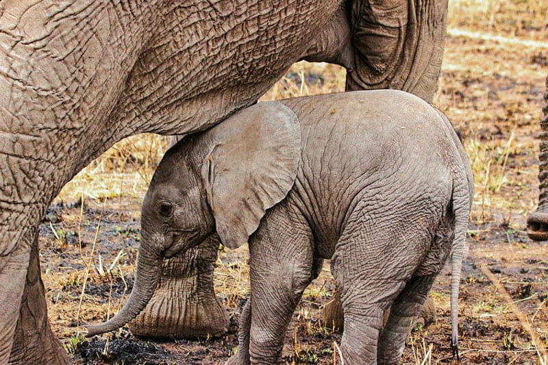 Big-five-elephant-and-baby-Wildmoz.com