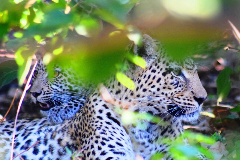 Big-five-leopard-Wildmoz.com