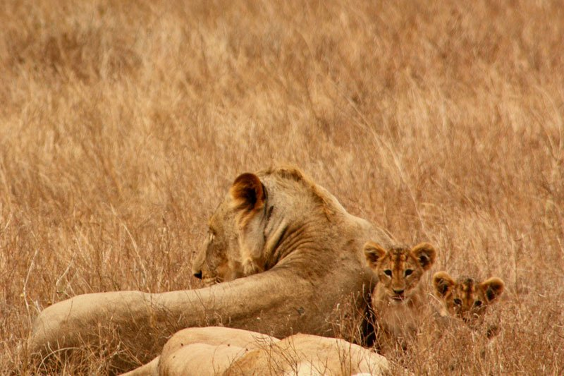 Big-five-lion-and-cubs-Wildmoz.com