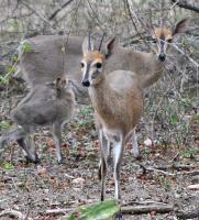 Duiker Baby Born In The Mist