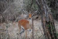 Shy Retiring: Little Steenbok