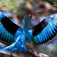 Diving Woodland Kingfishers